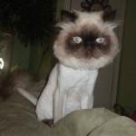 chat, rasé de bien près …
