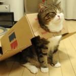 le chat tortue avec son carton sur le dos