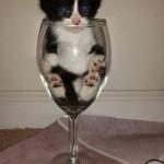 chaton dans un verre à vin