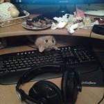 chat cache-cache sous l'ordinateur