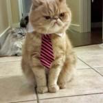 Grumpy cat … à cravatte