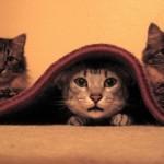 3 chatons qui prennent la pose dont 1 sous le tapis