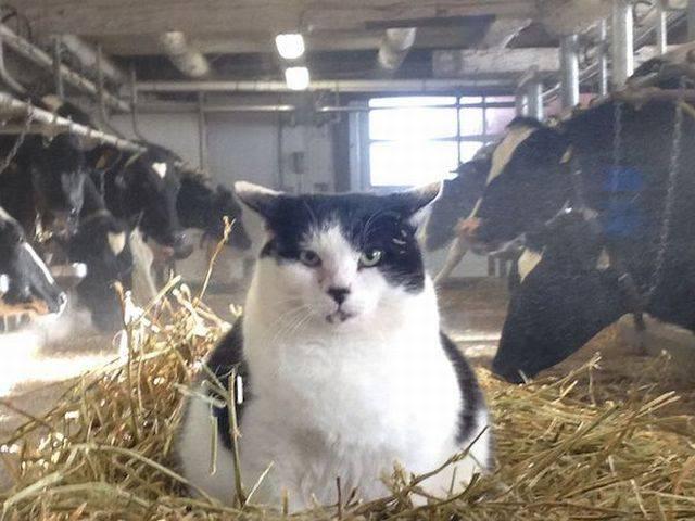 le chat vache